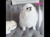 Собака повторяет за своей новой игрушкой
