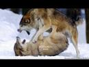 ✯ჩვენ მგლები ვართ ყველაზე ძლიერები✯Мы волки, и нас, по сравнению с собаками, мало