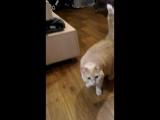 Красивая кошка Виски)))