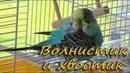 Попугайчик наводит красоту. Волинистик расчесывает перышки и хвостик. Budgie and his tail feathers.