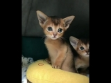 Kittens of the Abyssinian breed