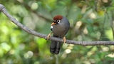 Chestnut-capped Laughingthrush. · #coub, #коуб