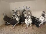 2014 best clip Iranian Pigeons from Kashan Elizada 2/2014
