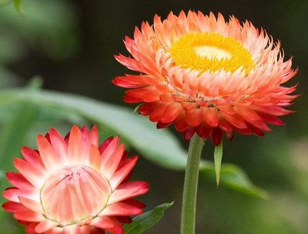 Бессмертник Бессмертник (Helichrysum) представляет собой травянистый многолетник, который принадлежит семейству Астровые. Помимо основного названия можно услышать в адрес растения цмин, желтянка