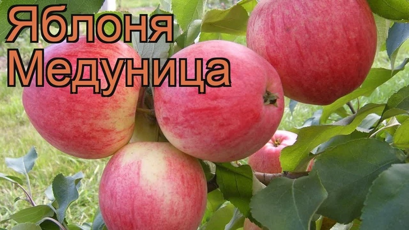 KhimkiQuiz 04.01.19 Вопрос № 129 Именно ТАК называется самый зимостойкий из распространенных у нас сортов яблок.