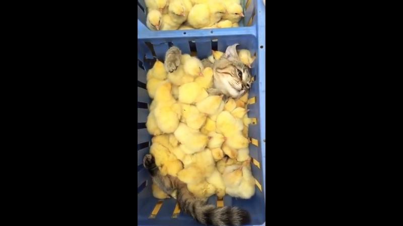 Кот с Цыплятами mp4