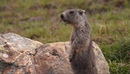Marmota marmota CREAF