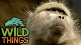 The Baboon Mob Gangster Monkeys Documentary Wild Things