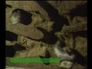охота с хорьком на дикого кролика