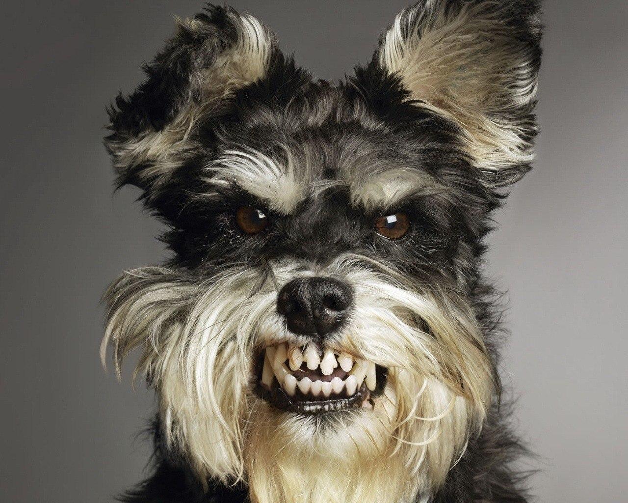 Злий собака