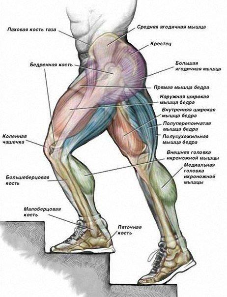 все группы мышц верхней и