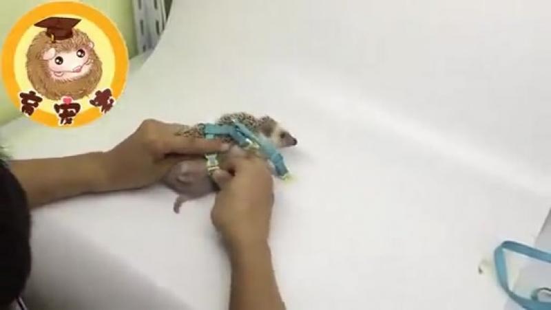 Видео с сайта AliExpress | Поводок для ёжика | Смешное видео. » Freewka.com - Смотреть онлайн в хорощем качестве