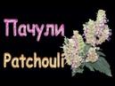 ПАЧУЛИ в женском парфюме Новой зари