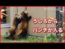 ちょっとどいて!母娘で先を争うレッサーパンダ ギンと円実 Red Pandas