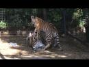 Игривые тигрята