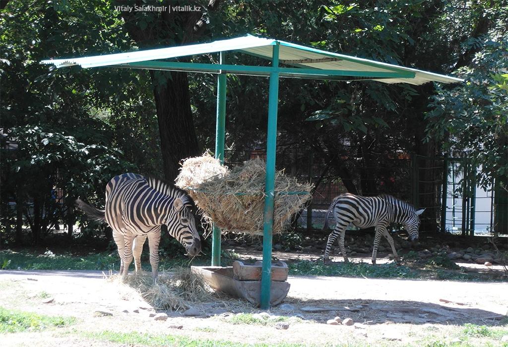 Зебра Чапмана, алматинский зоопарк