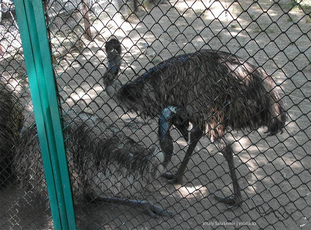 Страус эму в алматинском зоопарке 2018