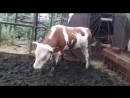 Малыш зажигает хорошее настроение, смешное домашнее видео, корова, бычок, бык, скотина танцует, ферма, деревня, семья, рогатый