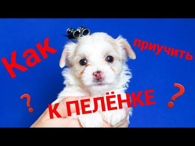 Как приучить щенка к пеленке Питомник йоркширских терьеров Щенок йорка