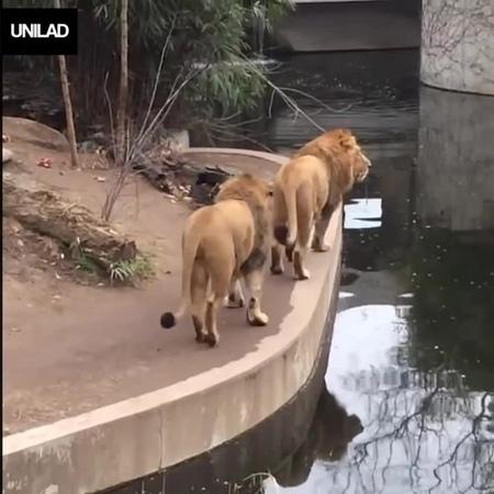 The Lion SLIPS Tonight · coub, коуб