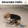 """Смешные видео с животными 😜 on Instagram """"Танец с хвостиком😁 by pandathetricorgi животные смешныеживотные animals звери милоевидео братьян..."""