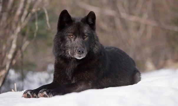 Подборка фильмов о волках.