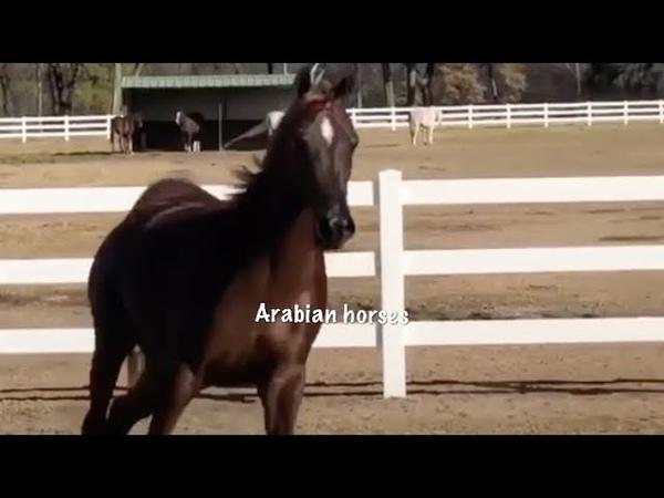 Filly Arabian Horses For Sale خيل عربي اصيل للبيع مهره عربيه للبيع ب