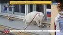 Новости на Россия 24 • Кот Ахилл поставил на Россию на Кубке конфедераций