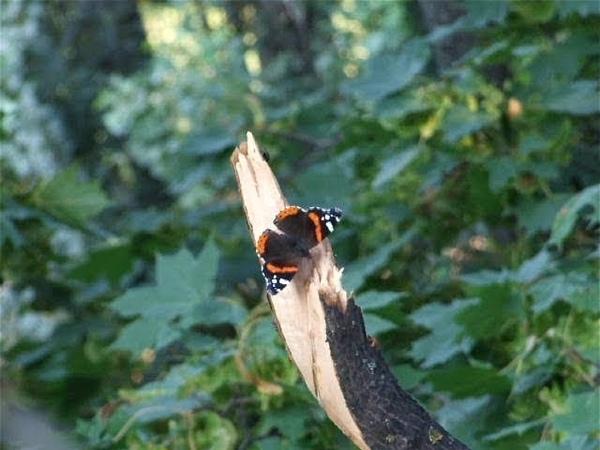 Мухи достают бабочек-адмиралов