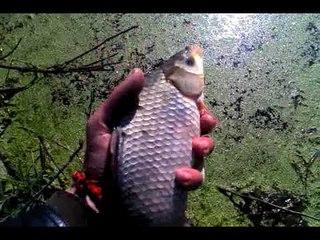 Пруд на участке, разведения рыбы, карась для рыбалки и ухи!