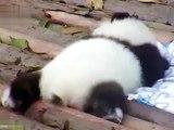Panda on Instagram Cre @pandamarc CLICK the link in my bio @panda_lover_ig and shop unique Panda designs