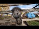 Как живет семья которая воспитывает страусов гигантов в Новосибирске