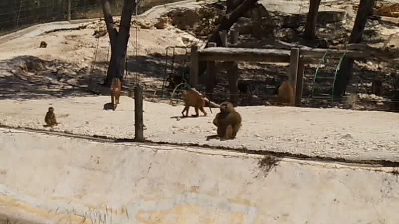 Вадим Черновецкий. — Обезьянки в сафари-парке Фригия, Тунис