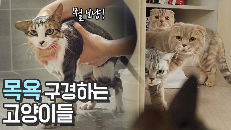 칠냥이 목욕! 지켜보는 고양이들 How To Bathe a Cat【수리노을 SURINOEL】