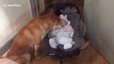 Adorable moment shiba dog rocks baby in cradle Kids &amp Dogs Dog Love Baby 2018