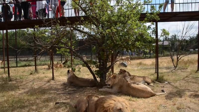 Львы в качестве зрителей на фото - сессии в Саванне ! Тайган .Крым