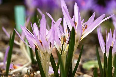 Миниатюрная Мерендера Маленькая красавица Мерендера относится к многолетним клубнелуковичным растениям из семейства Безвременниковых, произрастающим в дикой природе в Восточной Европе, Азии, на