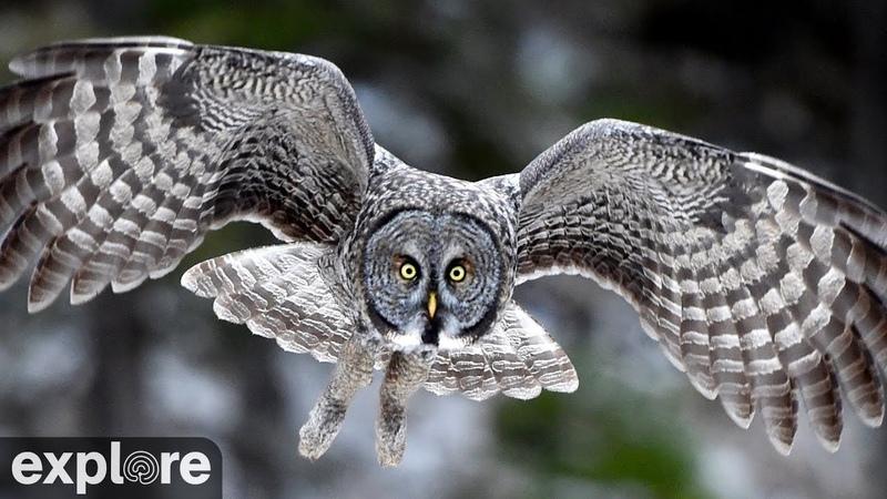 Онлайн трансляция - Great Gray Owls at Jim's Place