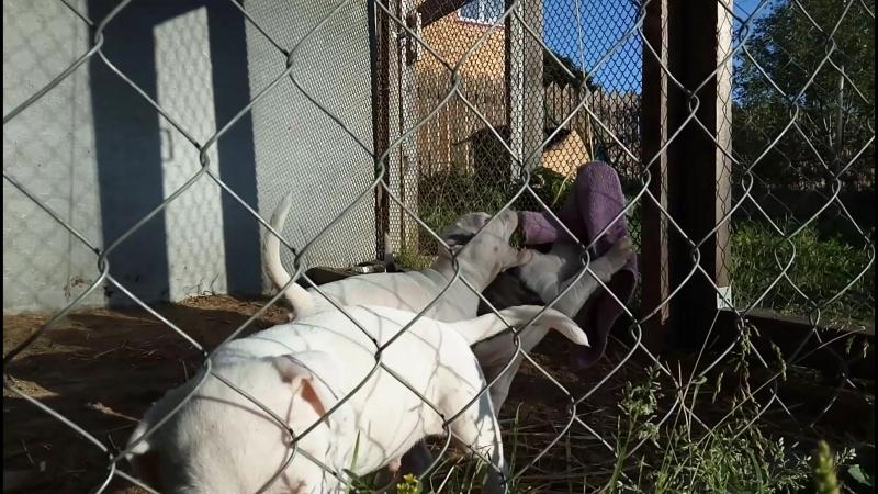 Пит-бульдоги от AREY и TERRY - на утреннюю разминку с ухваткой сегодня уже вышли три щенка(месяц и 6 дней)