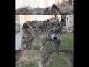 Замученная собака на улицах города пугала прохожих… Но люди превратили его в домашнее животное