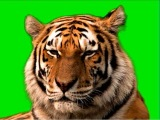 Уссурийский тигр. Рычащий. Футаж хромакей green screen.