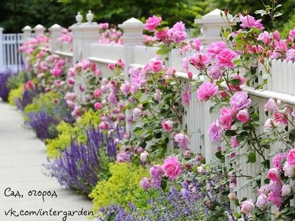 Милый садик. Очаровательные розы
