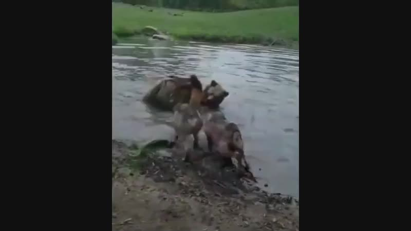 волки и медведи ...Рвач