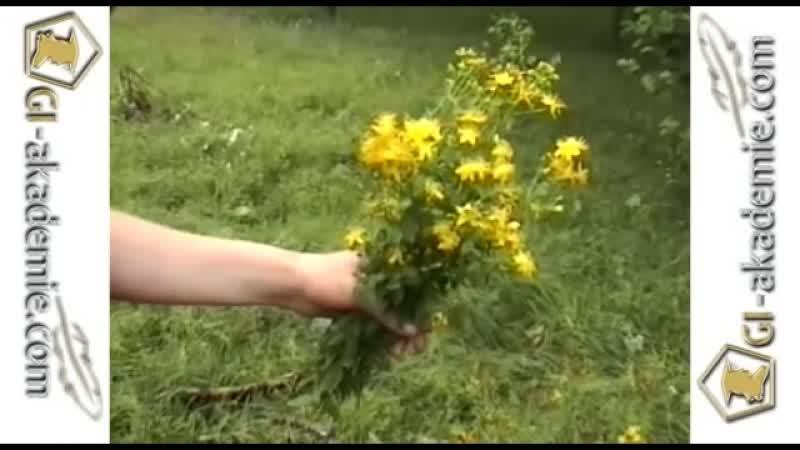 Лечебные растения Зверобой ktxt yst hfcntybz pdthj jq