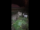 Кент черно белый кот