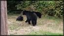 Канадец вежливо попросил медведей покинуть его двор
