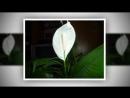 ЖЕНСКОЕ СЧАСТЬЕ не цветет Как заставить цвести СПАТИФИЛЛУМ