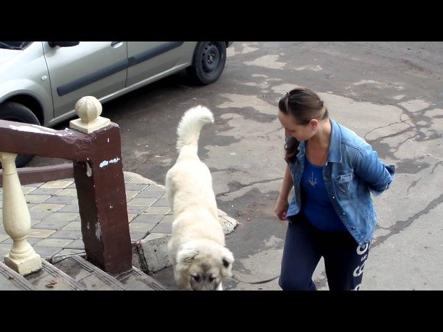 Дрессировка щенка кавказской овчарки. Работа над ошибками или Не мешайте собаке...