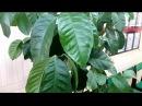 Как растут лимоны на подоконнике. Выращивание комнатных лимонов дома. Часть 2.