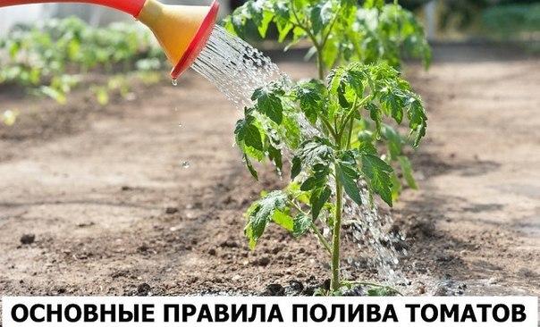 Нормы воды в различные периоды развития томатов